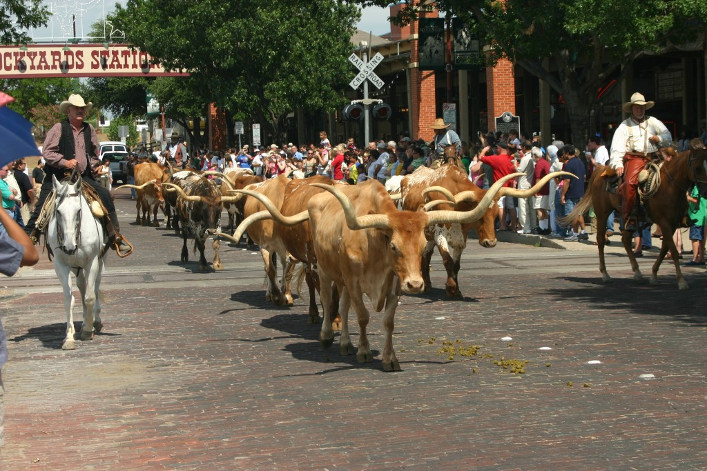 Fort Worth Stockyard Cattle